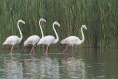 Группа в составе 4 фламингоа в озере Стоковые Фото