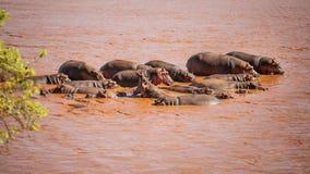 Группа в составе amphibius бегемота гиппопотама купая в красном ri Galana стоковая фотография rf