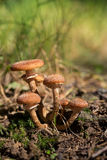 Группа в составе Armillaria пластинчатого гриба меда в солнечном свете на земле Стоковое Фото