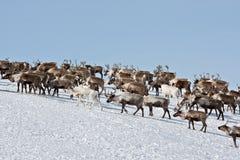 Группа в составе caribou стоковые фото