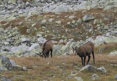 Группа в составе chamoises пася на луге осени скалистом Шамуа Tatra, tatrica rupicapra Rupicapra, высокая гора tatras, Словакия стоковая фотография rf