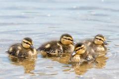 Группа в составе 4 Chicklets из диких уток (кряква) Стоковые Изображения RF