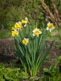Группа в составе daffodils на солнечный день весной стоковое изображение