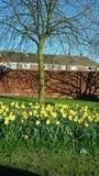 Группа в составе Daffodils Стоковое Изображение