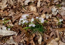 Группа в составе dainty белая и розовая красота весны цветет вытекать от пола леса Стоковые Фотографии RF