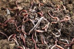 Группа в составе earthworms в земле Стоковое фото RF