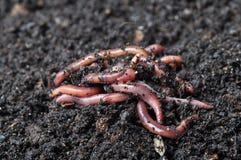 Группа в составе earthworms Стоковые Изображения