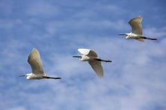 Egrets скотин в полете Стоковые Изображения RF