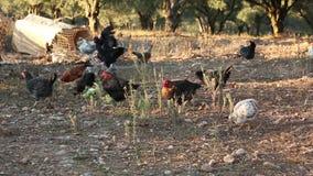 Группа в составе Freerange подавать цыплят видеоматериал
