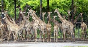 Группа в составе giraffe Стоковое фото RF