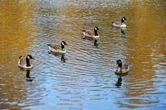 Группа в составе gooses в lakeshore Стоковое Изображение