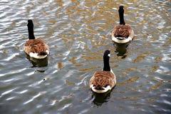 Группа в составе gooses в lakeshore Стоковые Фото