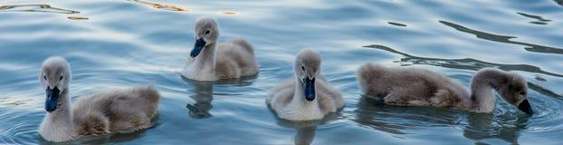 Группа в составе Hatchlings лебедя Стоковое Изображение RF