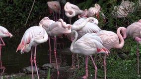 группа в составе 4K большие фламинго отдыхает в озере Roseus Phoenicopterus в зоопарке акции видеоматериалы