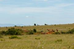 Группа в составе Kudus пася между кустами Стоковое Изображение
