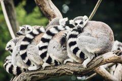 Группа в составе lemurs Стоковая Фотография RF