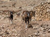 Группа в составе Mouflons, gmelini барана или orientalis барана, идет до горы Стоковые Фотографии RF