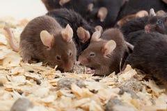 Группа в составе Mouses Стоковые Изображения