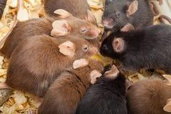 Группа в составе Mouses Стоковая Фотография RF