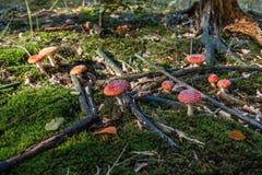 Группа в составе muscaria мухомора пластинчатого гриба мухы в мхе Стоковое фото RF