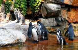 Группа в составе Pinguins Стоковое Изображение RF