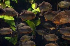 Группа в составе piranhas плавая в аквариум Стоковое Фото