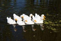 Группа в составе Reflecred белые гусыни Стоковое Изображение RF