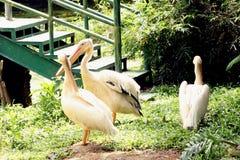 Группа в составе rossy пеликаны в индийском зоологическом парке стоковые фотографии rf