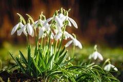 Группа в составе snowdrops весной Стоковое Изображение RF