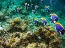 Группа в составе surgeonfish цвета Стоковые Изображения