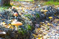 Группа в составе toadstools в лесе. Стоковые Изображения RF