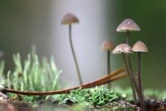 Группа в составе toadstools в мхе на тухлой древесине Стоковое Фото