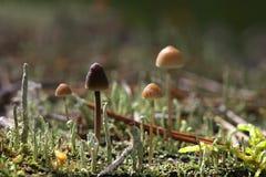Группа в составе toadstools в мхе на тухлой древесине Стоковое Изображение