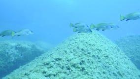 Группа в составе umbra Sciaena рыб акции видеоматериалы