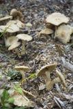 Группа гриба Брайна Стоковое Изображение