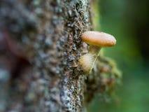 Группа гриба меда Стоковая Фотография