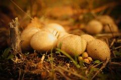 Группа грибов puffball Стоковое Фото