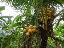 Группа желтых кокосов Стоковые Изображения