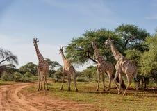 Группа жирафа Стоковые Изображения