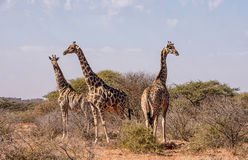 Группа жирафа Стоковое Изображение