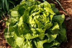 Группа завода салатов в саде Стоковые Фото