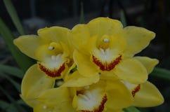 Группа зацветая желтых орхидей уравновесила в красном цвете Стоковая Фотография