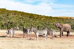 Группа зебры - зебра Burchell Стоковые Фотографии RF