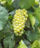 Группа зеленой виноградной лозы стоковое фото rf