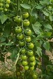 Группа зеленых томатов вишни стоковое фото rf