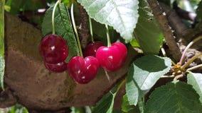 Группа зрелых красных вишен на дереве в саде Стоковое Изображение RF