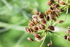Группа зрелых семян укропа против зеленой предпосылки стоковые изображения rf