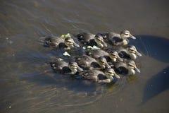 Группа испещрятьых утят плавая совместно в мелководье стоковое фото rf