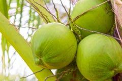Группа или кокосовая пальма Cocunut Или плодоовощ на здоровье и лето Стоковое Фото