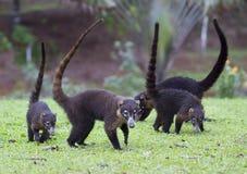 Группа коати-Mundi на траве в Коста-Рика стоковое изображение